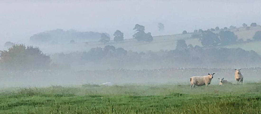 sheep in the morning mist